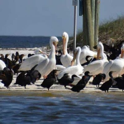 white pelicans and other birds